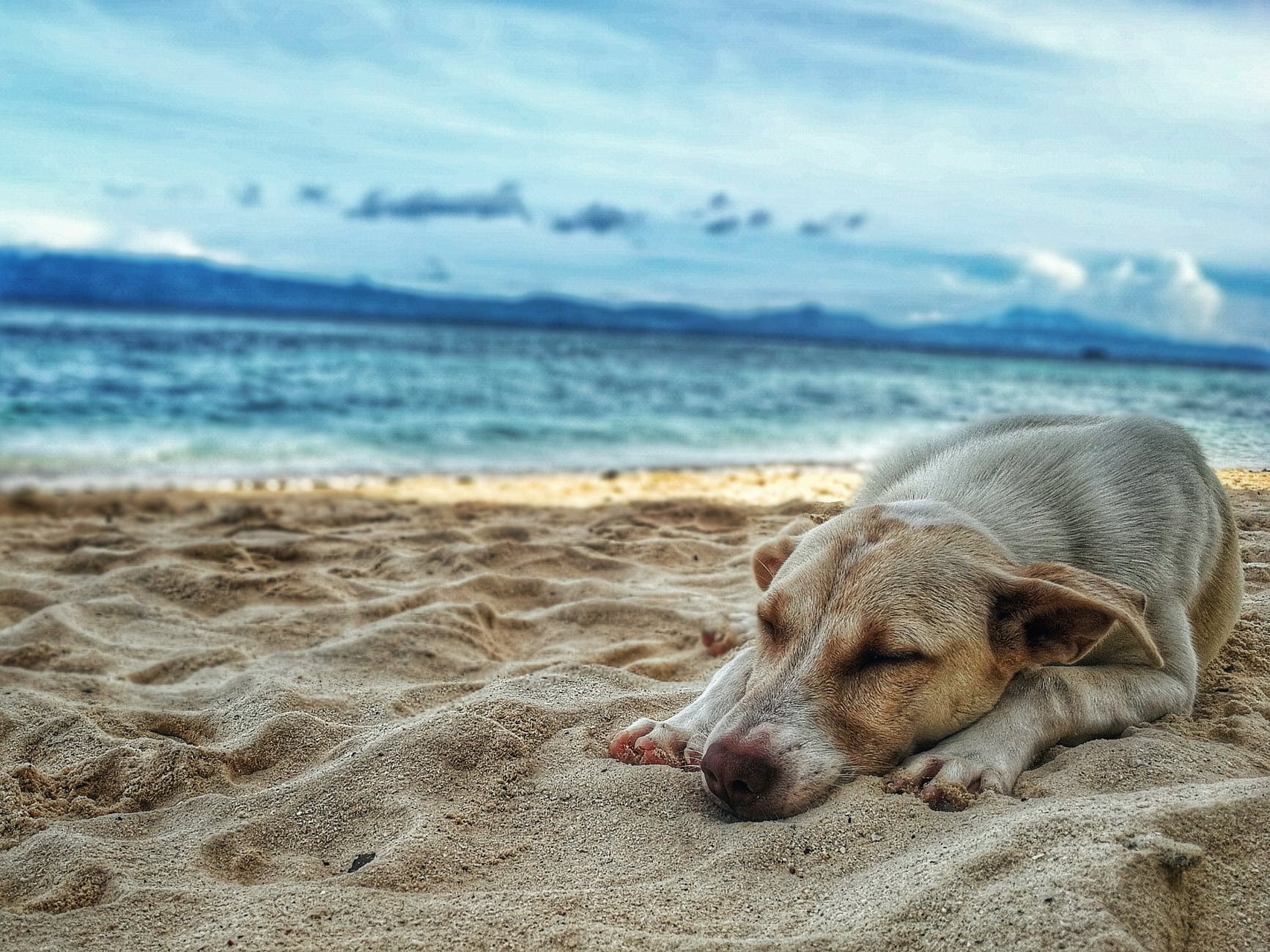 dark yellow labrador retriever lying on the sea shore